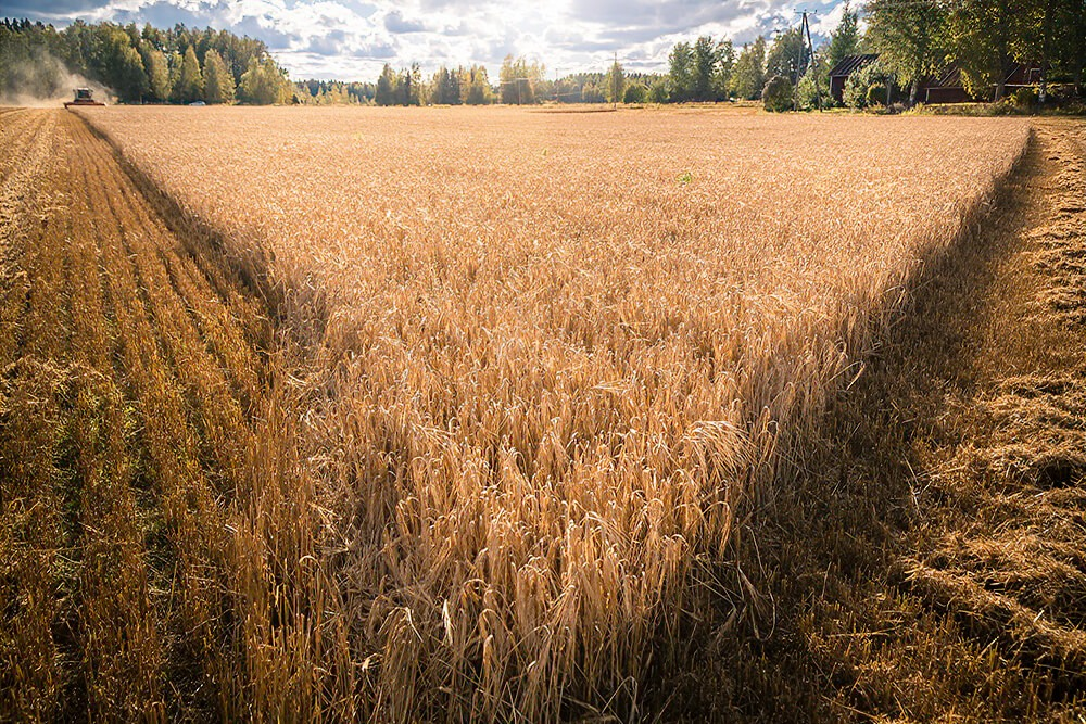 A picture of a wheat field.
